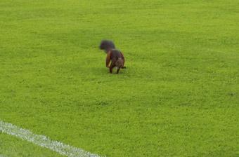 Gejagt: ein Eichhörnchen